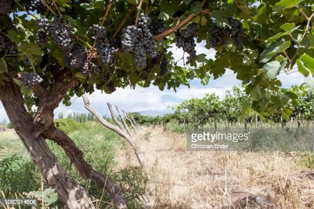 Wine growing near Mendoza