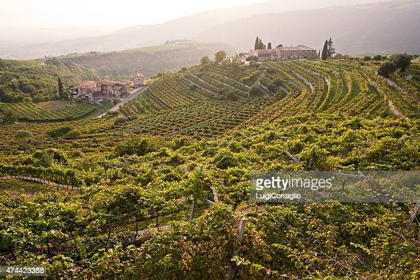 wine harvest - consiglio stock pictures, royalty-free photos & images