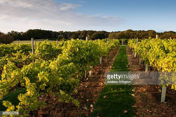 wine harvest - kent england stock pictures, royalty-free photos & images