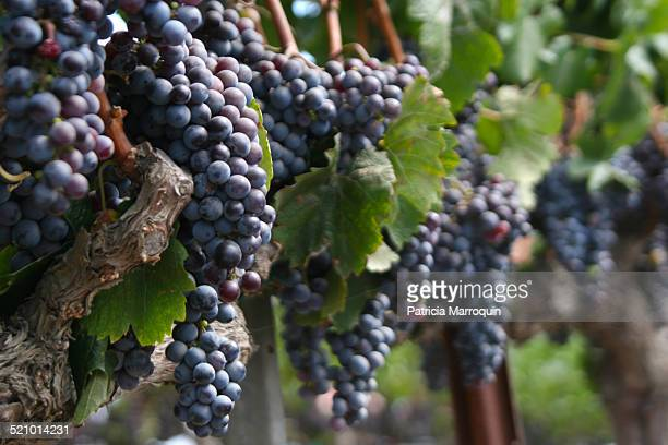 wine harvest - los olivos california stock pictures, royalty-free photos & images