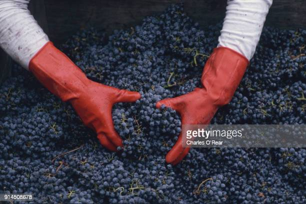 wine harvest - wine harvest stock pictures, royalty-free photos & images