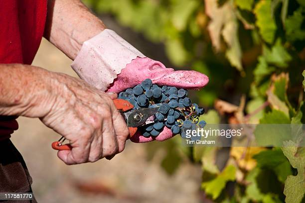 Wine harvest vendange Cabernet Franc grapes by hand at Chateau Lafleur at Pomerol in the Bordeaux region of France