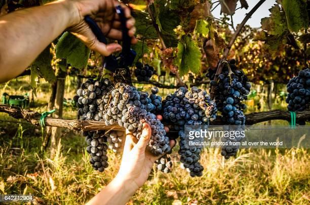 Wine harvesting