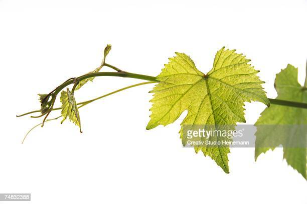 Wine leaves, close-up