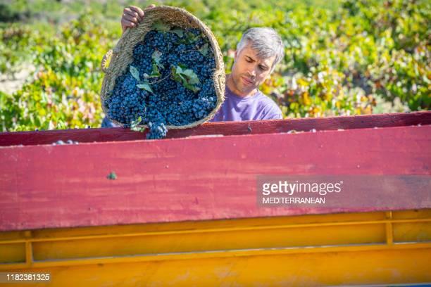 weinpflücker leert eimer weintrauben in traktor - produzent stock-fotos und bilder