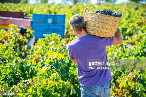 wine picker winemaker in red wine grape harvest - wine harvest stock pictures, royalty-free photos & images