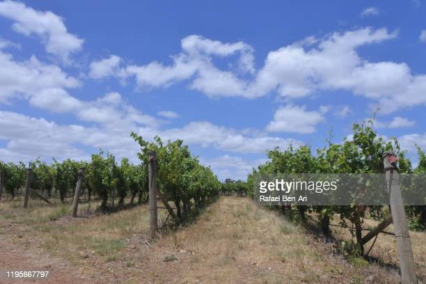 wine vineyard growing in western australia - rafael ben ari stock pictures, royalty-free photos & images