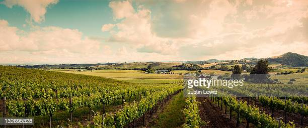 wine vineyard shoot in sonoma on a sunny day - sonoma county stock pictures, royalty-free photos & images