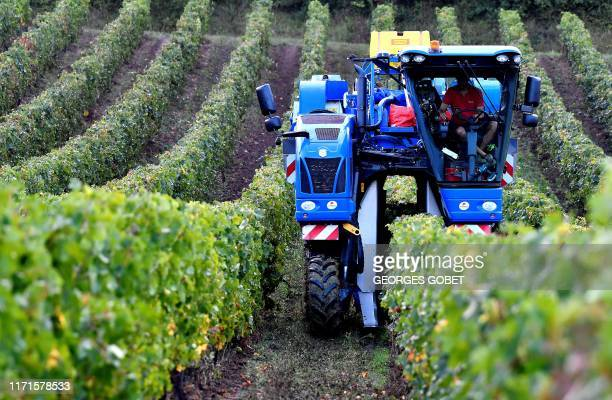 A winefarmer drives a grape harvester tractor on September 26 2019 in a red vineyard of the chateau Haut Lorettes near Teuillac in Bordeaux region...