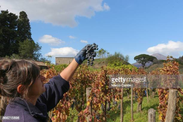 A winegrower Look at a cluster of fresh grapes during the grape harvest in the archaeological excavations of Pompeii Behind the the Vesuvius volcano