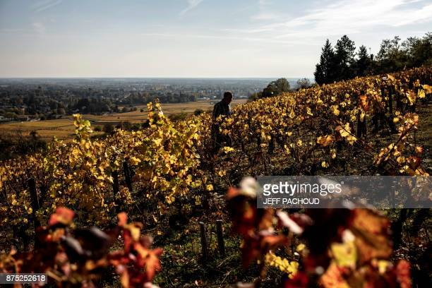 A winegrower walks in his vineyard the grapes of which are used to feed cattle selected to produce beef for a new label called Boeuf de Beaune near...