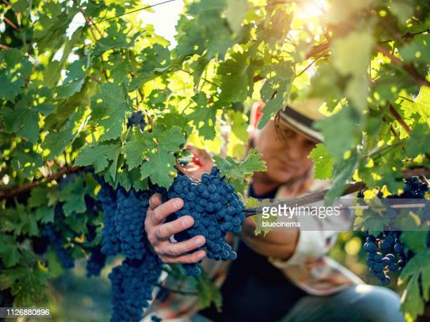 winemaker harvesting grapes - grape harvest stock pictures, royalty-free photos & images