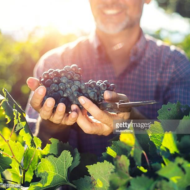 Winemaker la vendange des raisins