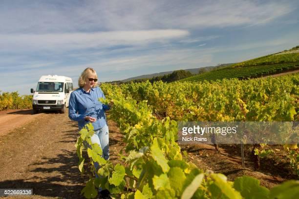 Winemaker inspecting grapevines at Jansz Tasmania Winery