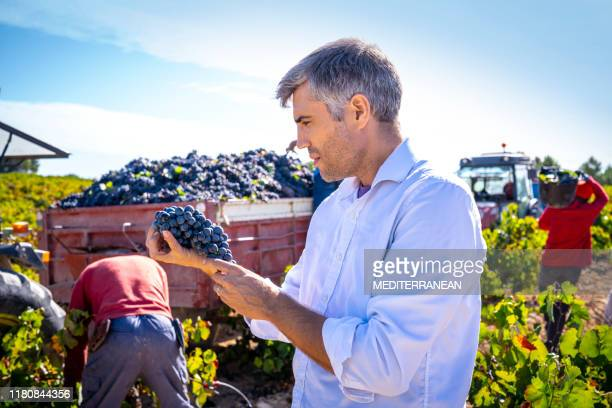 winemaker oenologist holding red wine grapes at grape harvest - producer stock pictures, royalty-free photos & images