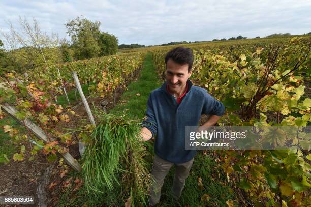 Winemaker Olivier de Marcillac shows weeds which accumulate in the vines of the Chateau La Pierriere which produces Castillon Cotes de Bordeaux...