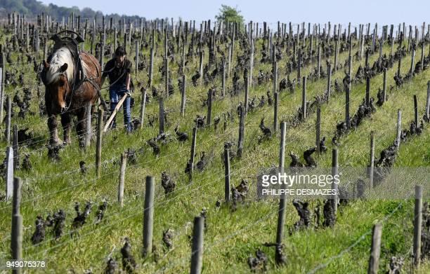 Winemaker ploughs the Pommard vineyard on April 20 near Pommard, in the region of Burgundy, southeastern France. - In the vineyards of Pommard...