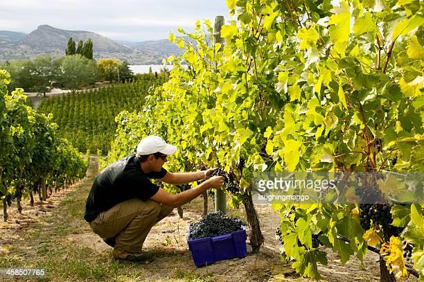 winery vineyard okanagan valley - thompson okanagan region british columbia stock pictures, royalty-free photos & images