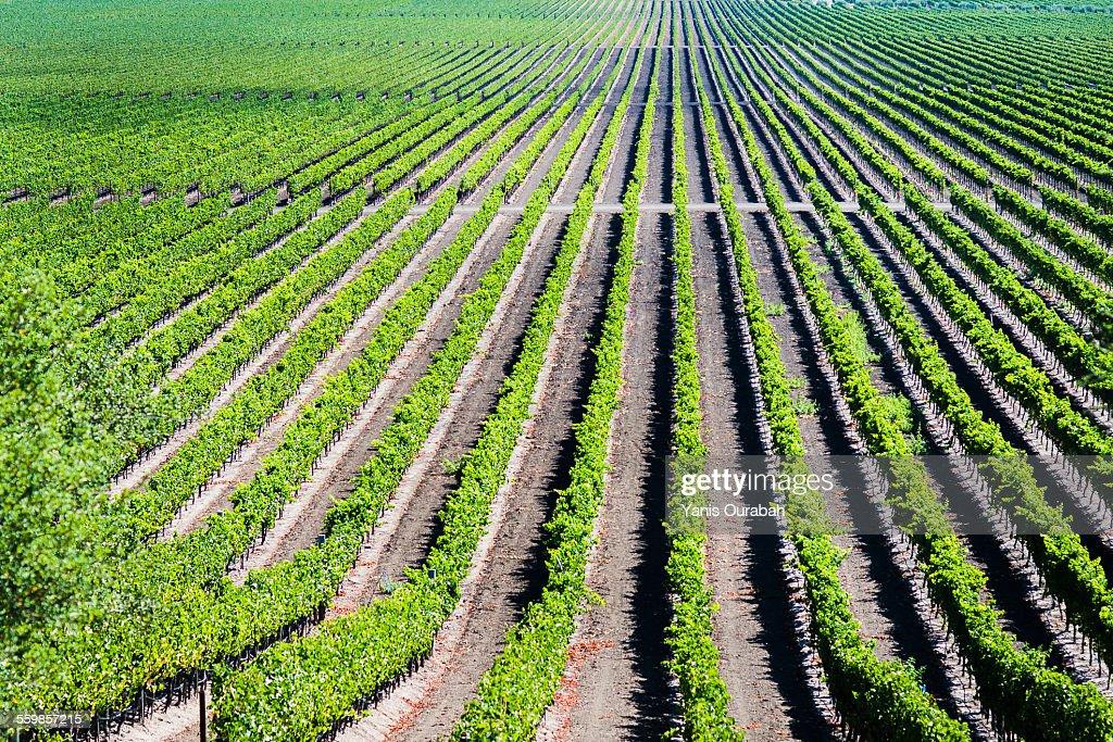 Winery wine grapes Napa Valley California : Stock Photo