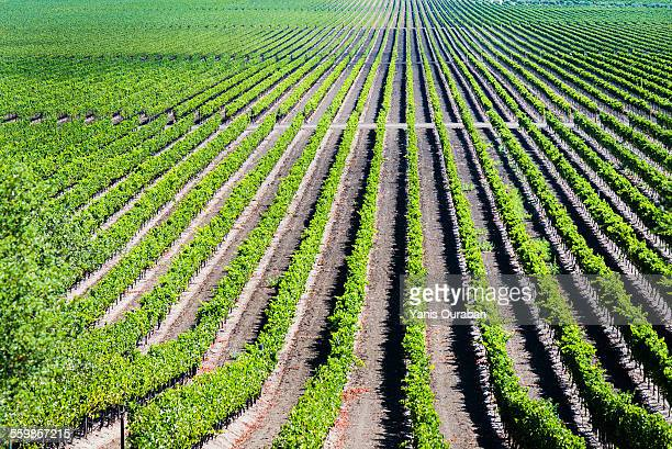 winery wine grapes napa valley california - chardonnay grape stock photos and pictures