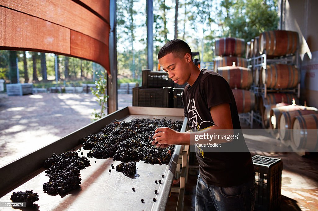Wineworker sorting out grapes at winery : Stock Photo