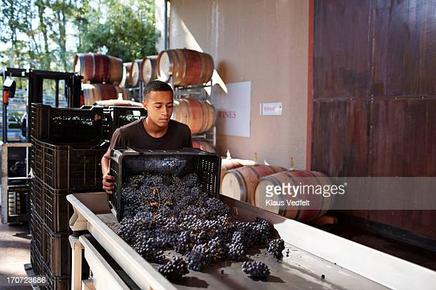 Wineworker sorting out grapes at winery
