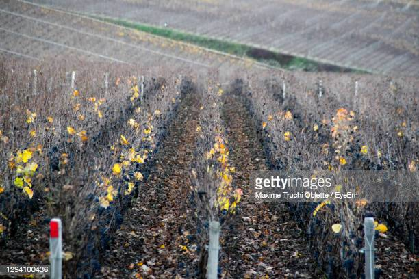 wineyard in celles sur ource - troyes champagne ardenne photos et images de collection