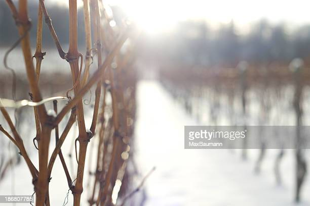 wineyard in winter - grape leaf stock pictures, royalty-free photos & images