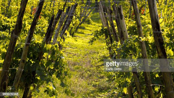 wineyard - wineyard stock photos and pictures