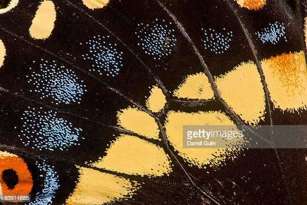 wing detail of papilio polyxenes butterfly - animal wing ストックフォトと画像