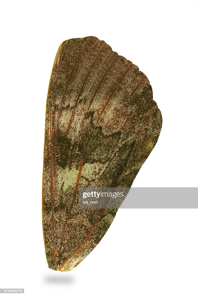 Wing Night moth : Stock Photo