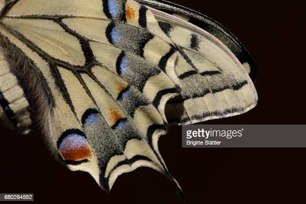 Wing of a Swallowtail
