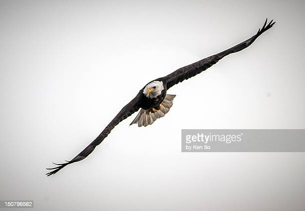 wing span of an american bald eagle - ken ilio stock photos and pictures