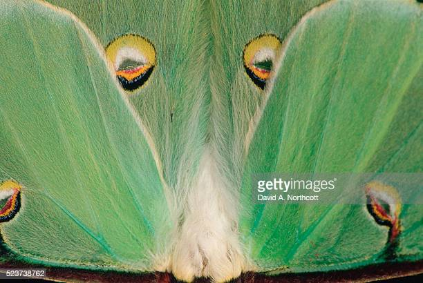 wings of a luna moth - luna moth stock pictures, royalty-free photos & images