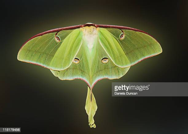 wings of luna moth - luna moth stock pictures, royalty-free photos & images