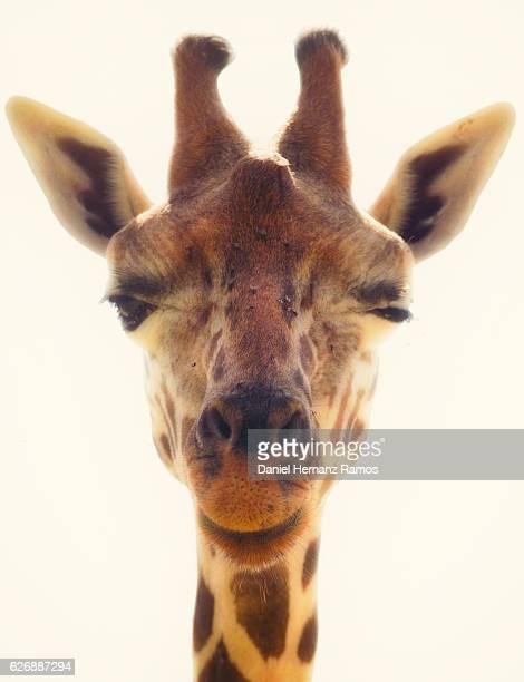 Winking Giraffe head close up. Giraffa camelopardalis