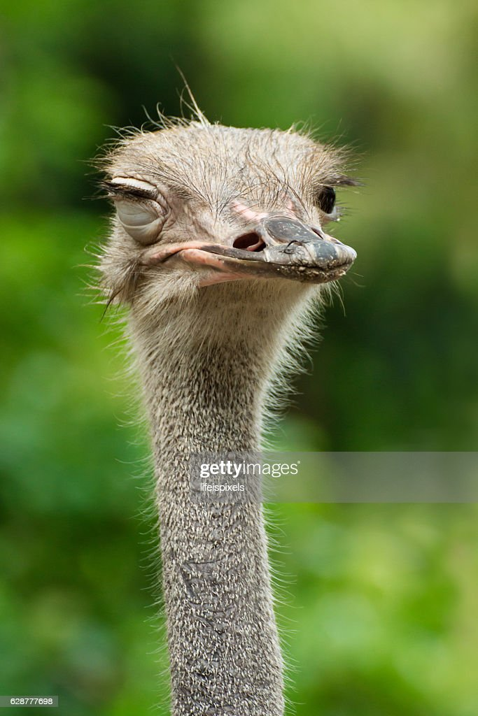 Winking Ostrich : Stock Photo