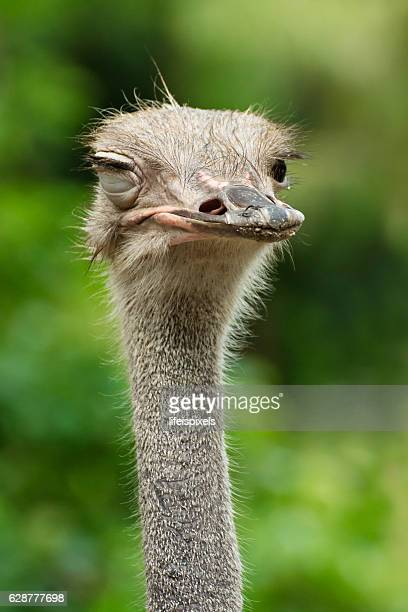 winking ostrich - lifeispixels stock pictures, royalty-free photos & images