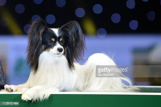 Winner of Best in Show the Papillon Dylan poses on the final day of the Crufts dog show at the National Exhibition Centre in Birmingham central...