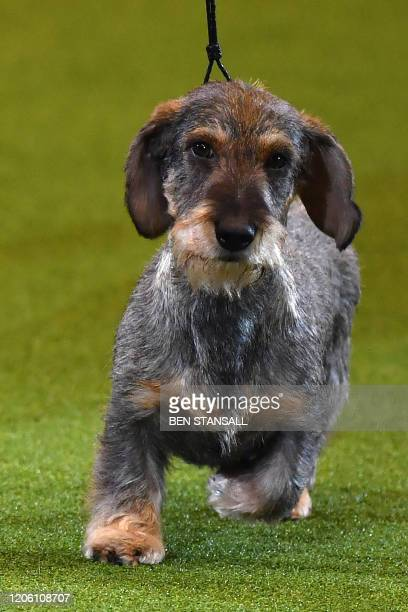 Winner of Best in Show the Wire Haired Dachshund Maisie is shown at the Best in Show event on the final day of the Crufts dog show at the National...