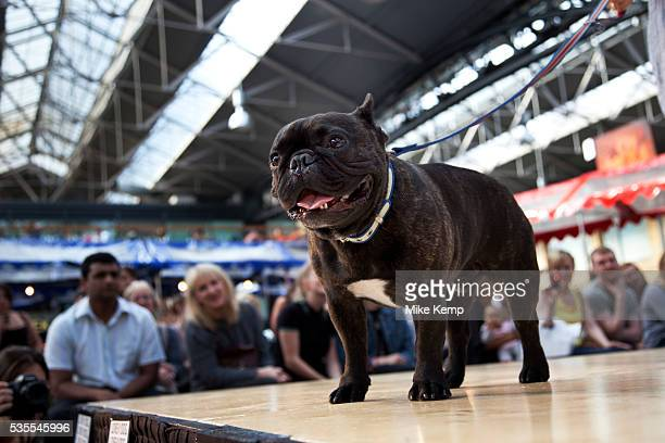 Winner of the fugliest dog category a Pug at Paw Pageant dog show at Spitalfields Market London Local people enter their dogs into the Shoreditch...