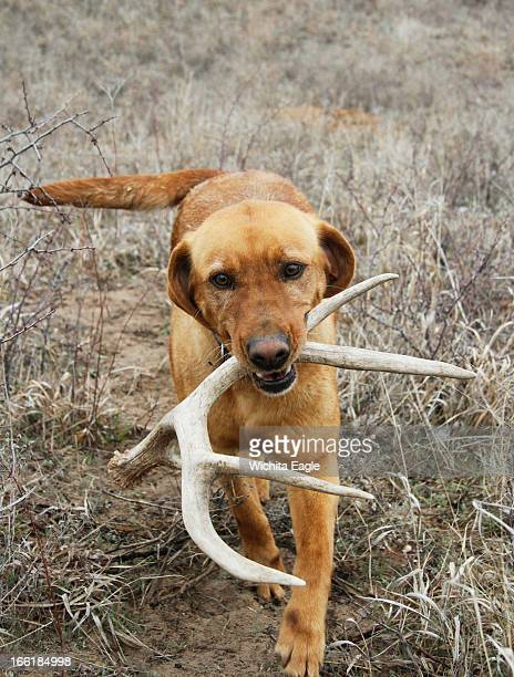 Winnie a specially trained antler dog fetches a shed mule deer antler she found April 2 in Edwards County Kansas
