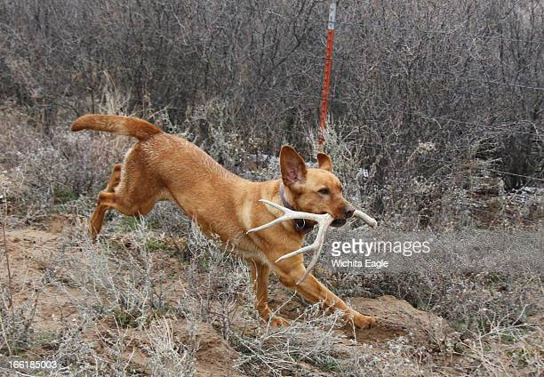 Winnie a specially trained antler dog fetches a shed whitetail deer antler she found April 2 in Edwards County Kansas She finds antlers by scent and...