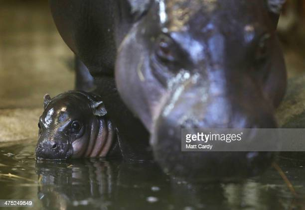 Winnie the new threeweekold baby pygmy hippo and her mother Sirana walk to the pool in their enclosure at the pygmy hippo exhibit at Bristol Zoo...