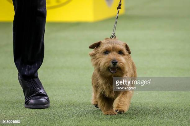 Winston a Norfolk Terrier and winner of the terrier group competes on the final night of the 142nd Westminster Kennel Club Dog Show at The Piers on...