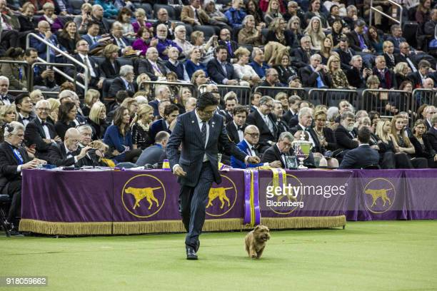 Winston, a Norfolk Terrier, walks with a handler during the Best in Show category at the 142nd Westminster Kennel Club Dog Show in New York, U.S., on...