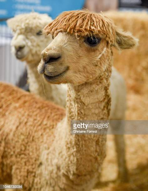 Winston and Bullseye the Alpacas at the Family Pet Show at Event City on October 6 2018 in Manchester England