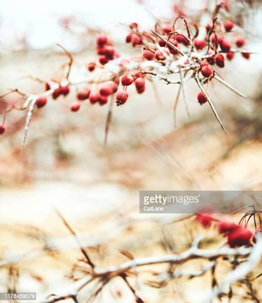bacche e foglie invernali alla luce del sole - soft focus foto e immagini stock