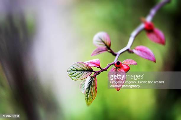winter berries on branch - gregoria gregoriou crowe fine art and creative photography stockfoto's en -beelden