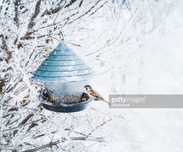 winter birds feeding. sparrow sitting on bird feeders at tree frozen branches - vogelhäuschen stock-fotos und bilder